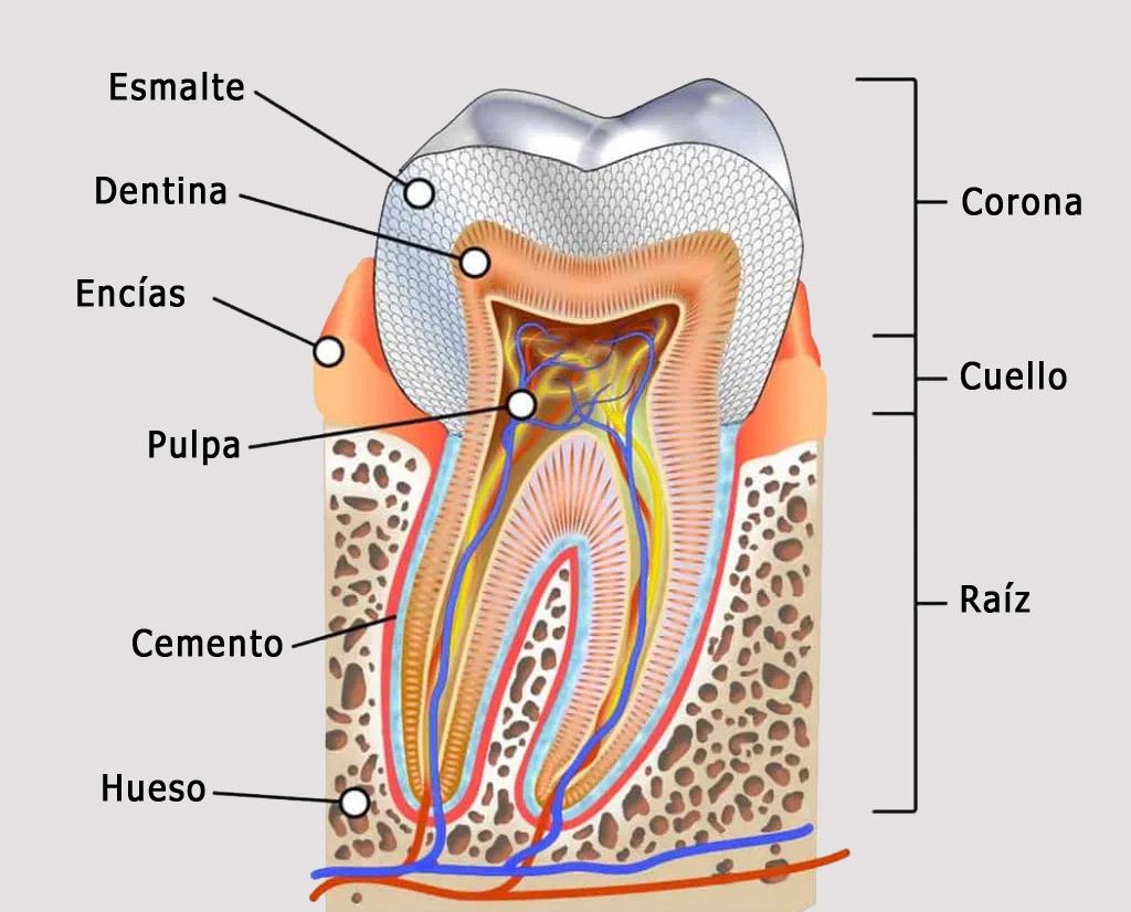 Anatomia de un diente