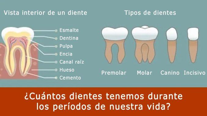 Cuántos dientes