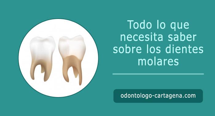dientes-molares