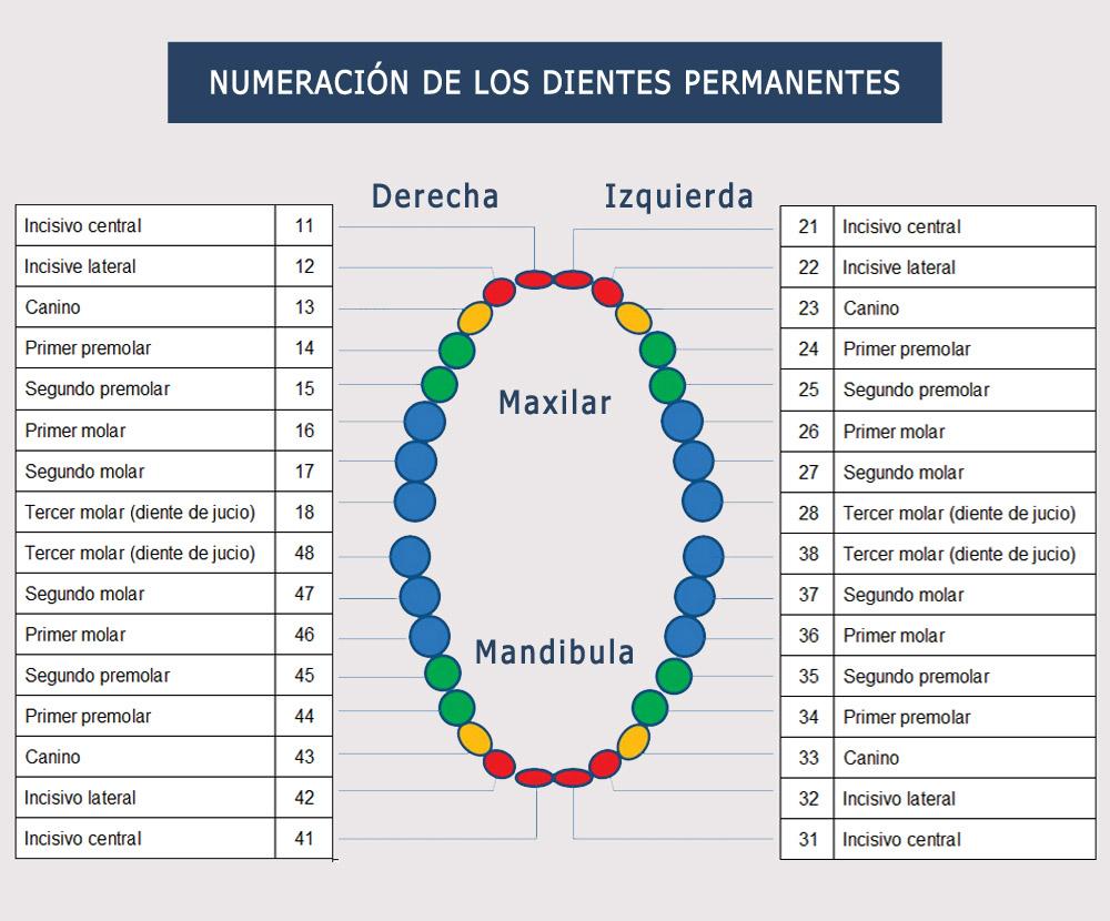 Numeracion de dientes