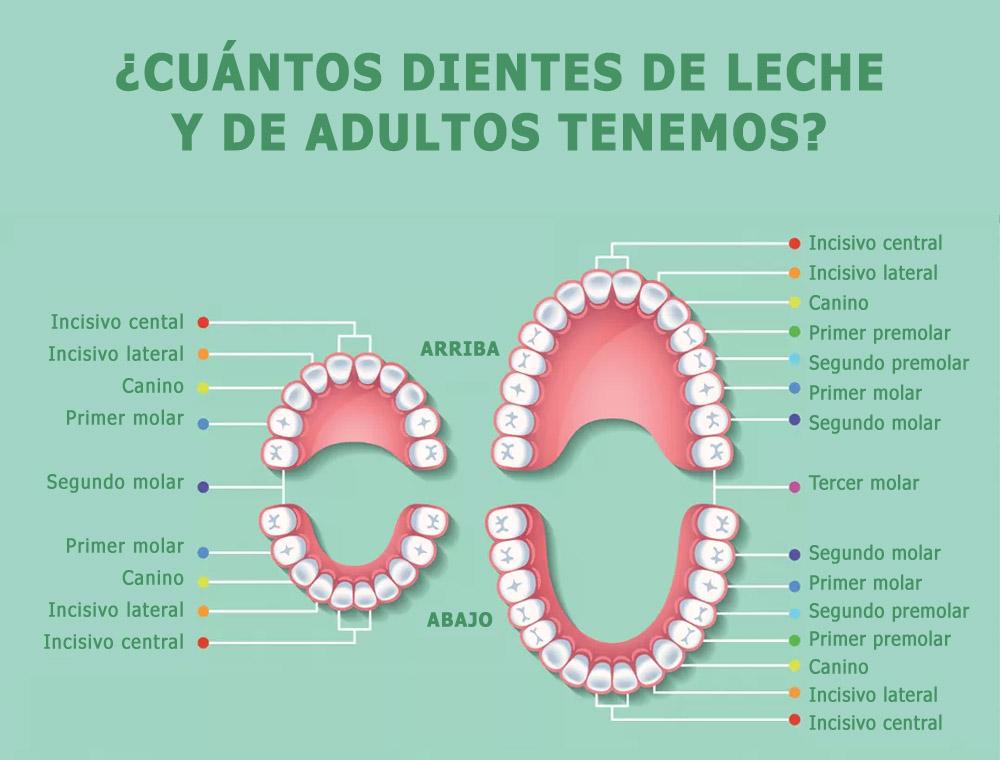 dientes de leche y de adulto