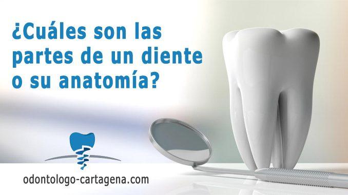 Cuáles son las partes de un diente
