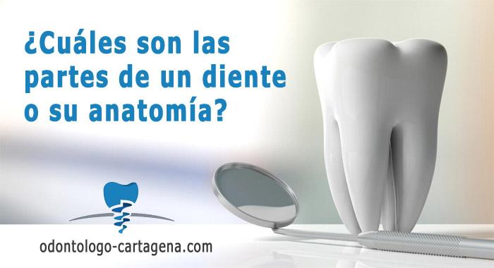 partes-diente